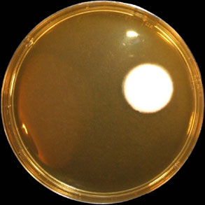 Malt Extract Agar