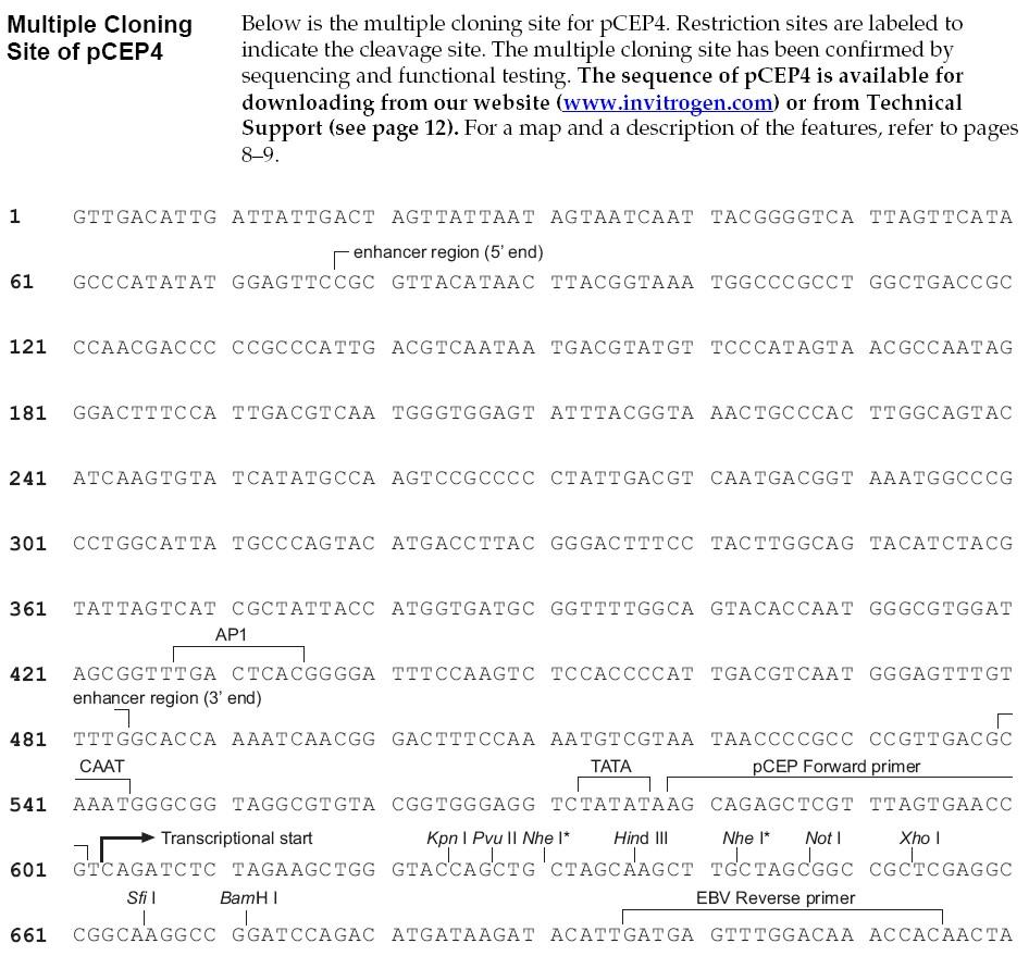 pCEP4载体多克隆位点